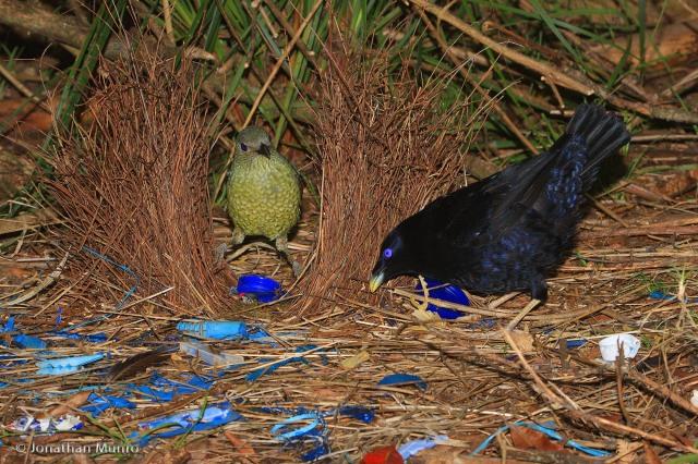 Satin_Bowerbird_Ptilonorhynchus_violaceus